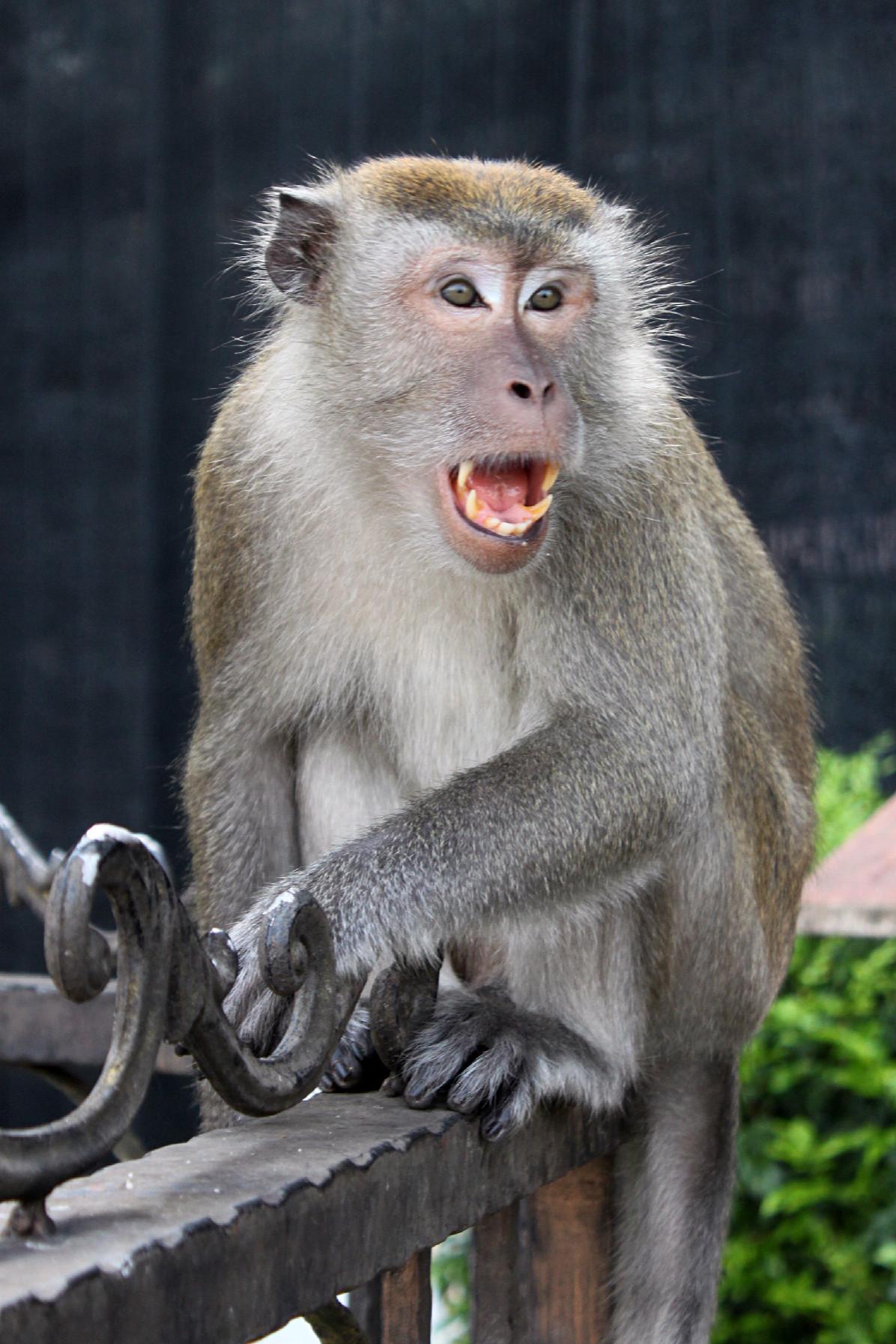 macaco alle batu caves, kuala lumpur, malesia